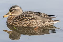 A mallard duck on Southampton Common royalty free stock images