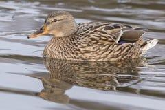 A mallard duck on Southampton Common royalty free stock photography