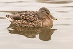 A mallard duck on Southampton Common royalty free stock image