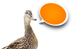 Mallard duck with speech bubble. Funny looking mallard duck on white background with orange speech bubble Stock Images