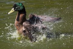 Mallard Duck Splashing Stock Photography