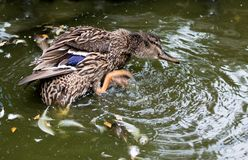 Mallard duck splashing in a pond. Female mallard duck splashing in a pond to clean feathers Stock Images