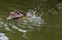 Mallard duck splashing in a pond. Royalty Free Stock Images