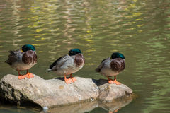 Mallard duck stand on rock. Group  mallard duck stand on rock at the lake Stock Photography