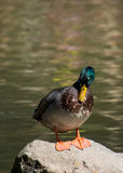 Mallard duck stand on rock. At the lake Stock Photography