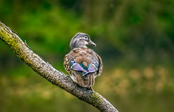 Mallard duck standing on a branch Stock Photography