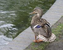 Mallard duck standing and with fan-shape tail-feathers. Female mallard duck standing at edge of water, showing off her beautiful back and  fan-shaped tail Royalty Free Stock Photography