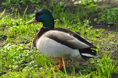 Mallard duck. Standing on the grass in the park Royalty Free Stock Photo