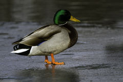 Mallard Duck Royalty Free Stock Photography