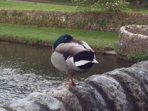 Mallard duck standing on one foot. Picture of a Mallard duck standing on one foot on a stone wall in an English village. Taken by Matthew Oakes Royalty Free Stock Image