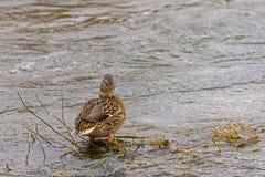 Mallard duck in river. Mallard duck standing in river Stock Photo