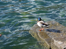 Mallard a duck standing on a rock at the water's edge. / Stock Images