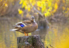 Mallard duck standing on a stump in pond. Mallard duck standing on a stump in the water Royalty Free Stock Images