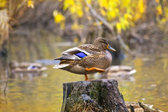 Mallard duck standing on a stump in pond. Mallard duck standing on a stump in the water Royalty Free Stock Image
