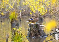 Mallard duck standing on a stump in pond. Mallard duck standing on a stump in the water Royalty Free Stock Photo