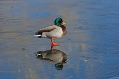 Mallard Duck Standing On Thin Ice Royalty Free Stock Photos