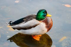 Mallard duck stands in the water on the lake Stock Photo