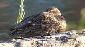 Mallard Duck Staring stock video footage