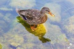 Mallard duck on a stone. Mallard duck standing on a stone Royalty Free Stock Photo