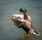 Mallard Duck. Stretching its wings Royalty Free Stock Photography