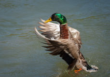 Mallard Duck. Stretching its wings Stock Photography
