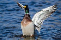 Mallard Duck Stretching Its Wings While che riposa sull'acqua fotografia stock libera da diritti