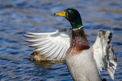 Mallard Duck Stretching Its Wings While che riposa sull'acqua fotografia stock