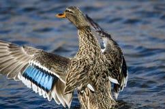 Mallard Duck Stretching Its Wings While se reposant sur l'eau photos stock