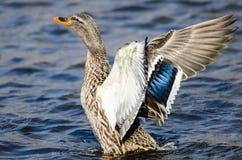 Mallard Duck Stretching Its Wings While se reposant sur l'eau photographie stock