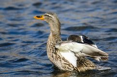 Mallard Duck Stretching Its Wings While se reposant sur l'eau bleue tranquille image stock