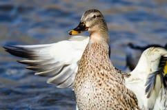 Mallard Duck Stretching Its Wings While se reposant sur l'eau photo stock
