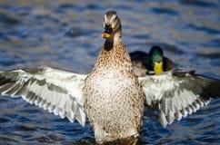 Mallard Duck Stretching Its Wings While se reposant sur l'eau image stock