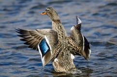 Mallard Duck Stretching Its Wings While se reposant sur l'eau images stock