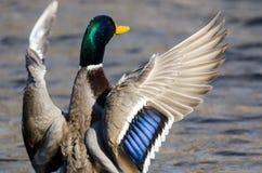 Mallard Duck Stretching Its Wings While se reposant sur l'eau photos libres de droits