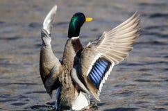 Mallard Duck Stretching Its Wings While se reposant sur l'eau images libres de droits