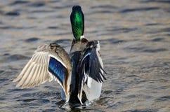 Mallard Duck Stretching Its Wings While se reposant sur l'eau photographie stock libre de droits