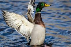 Mallard Duck Stretching Its Wings While se reposant sur l'eau photo libre de droits