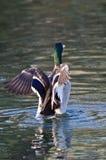 Mallard Duck Stretching Its Wings While sur l'étang photos libres de droits