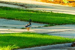 A mallard duck strolling down the sidewalk. At sunrise Royalty Free Stock Images