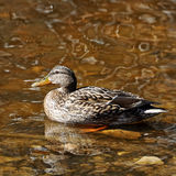 Mallard duck. On the surface of the lake Stock Photos