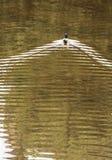 Mallard duck swim in wavy water, beauty in nature Royalty Free Stock Photo