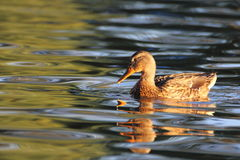 Mallard duck swimming. In the warm light of dawn Stock Images