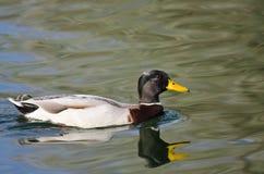 Mallard Duck Swimming Across the Green Water. Male Mallard Duck Swimming Across the Green Water Royalty Free Stock Photos
