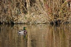 Mallard Duck Swimming in Autumn Pond fotografia stock