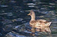 Mallard Duck Swimming on the Blue Water. Female Mallard Duck Swimming on the Blue Water Stock Images
