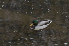 Mallard Duck Swimming in the C&O Canal. Shot near Great Falls National Park, Maryland, USA Royalty Free Stock Photo