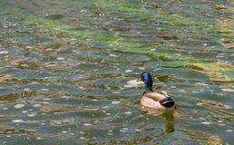Mallard duck. Stock Image