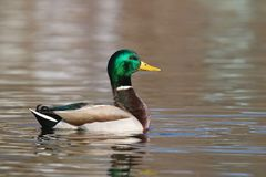 Mallard Duck swimming on Gold Water stock photography