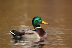 Mallard Duck swimming on Gold Water stock image