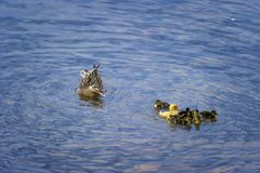 Mallard Duck Swimming With Her Ducklings. A mother mallard duck is not liking the larger yellow duckling joining her brood of babies royalty free stock photography